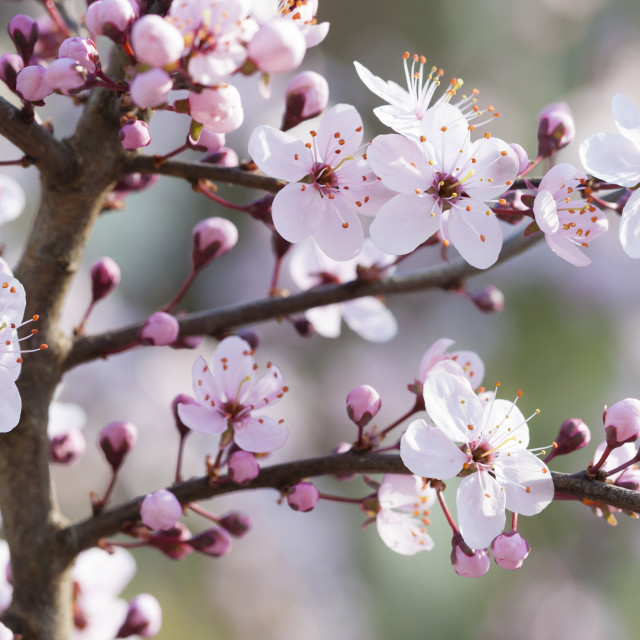 """Blackthorn, Prunus spinosa 'Rosea'"" stock image"