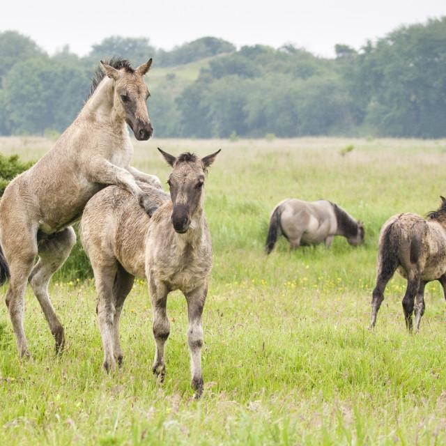 """Konik Paard, Konik Horse, Equus ferus"" stock image"