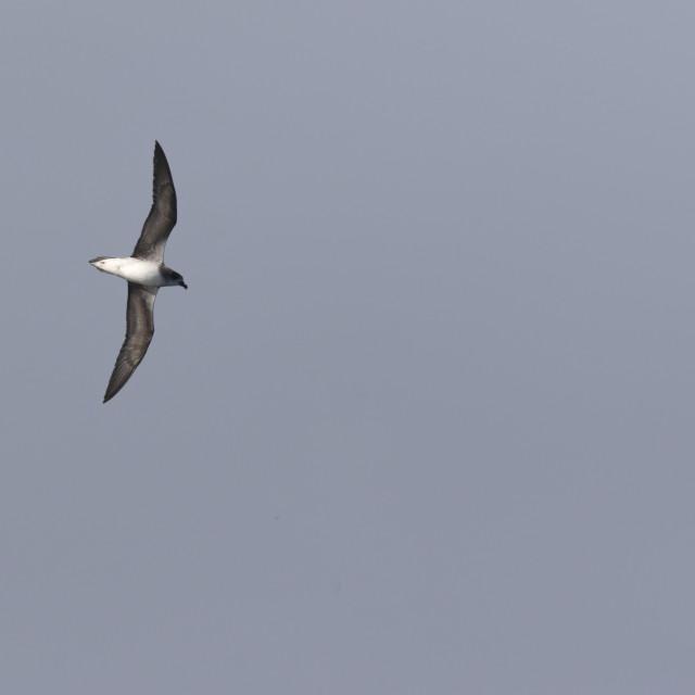 """Cape Verde Petrel, Pterodroma feae"" stock image"