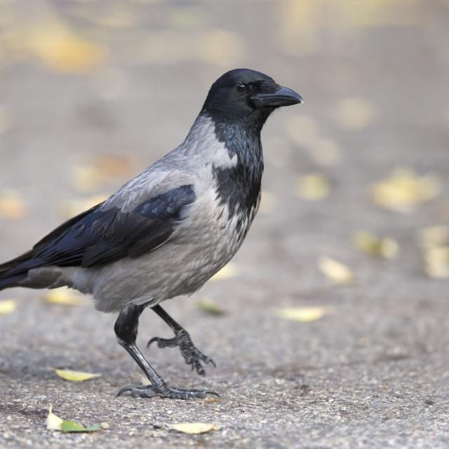 """Hooded Crow; Corvus cornix"" stock image"