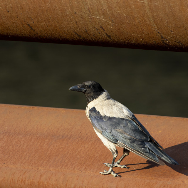 """Hooded Crow, Corvus cornix"" stock image"