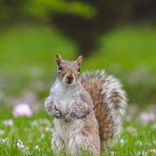 """""""Gray squirrel standing up in grass"""" stock image"""