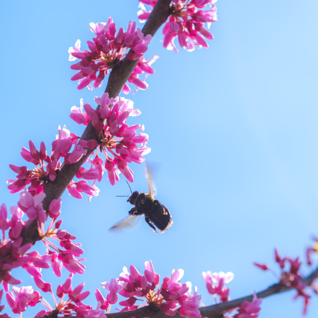 """""""Redbud tree with pink blossoms and bee in spring"""" stock image"""