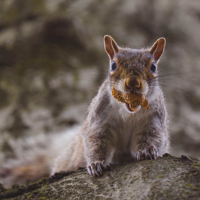 """""""Cute squirrel holding peanut while hanging on tree trunk"""" stock image"""