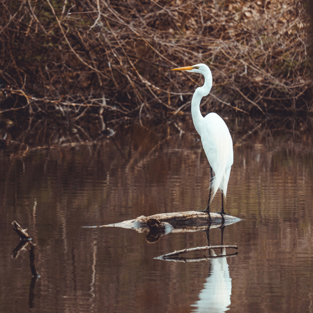 """""""Great egret standing on log in shallow water"""" stock image"""