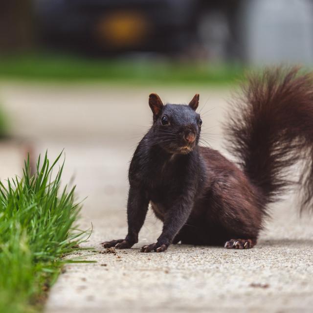 """Black squirrel standing on sidewalk"" stock image"