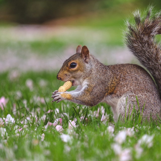 """""""Squirrel eating peanut while sitting in grass"""" stock image"""