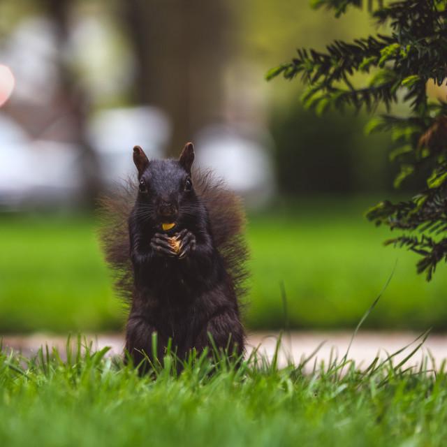 """""""Black squirrel eating peanut"""" stock image"""
