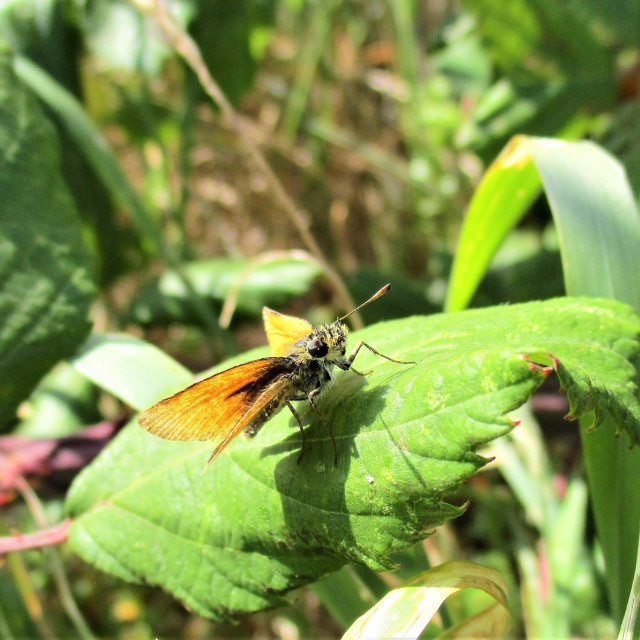 """Lulworth Skipper Butterfly"" stock image"