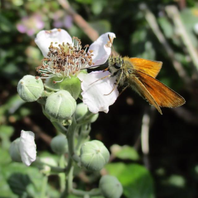 """Feeding Lulworth Skipper Butterfly"" stock image"