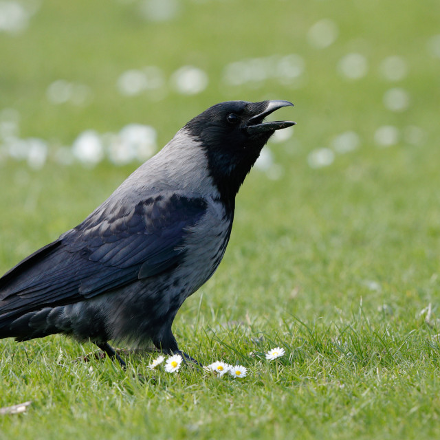 """Hybrid Carrion Crow x Hooded Crow"" stock image"