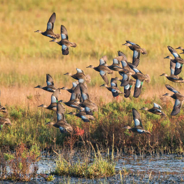 """""""Blue-winged Teal, Spatula discors"""" stock image"""