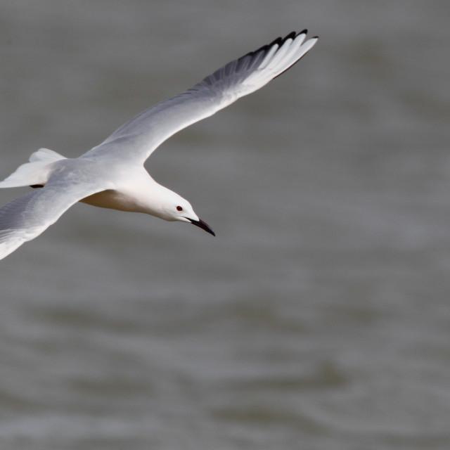 """""""Dunbekmeeuw, Slender-billed Gull, Chroicocephalus genei"""" stock image"""