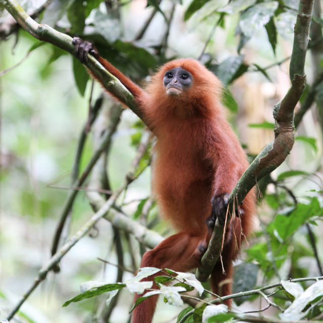 """Maroon leaf monkey, Presbytis rubicunda"" stock image"