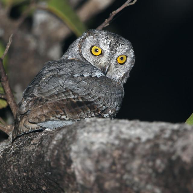 """Oriental scops owl, Otus sunia"" stock image"