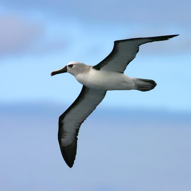 """Atlantic Yellow-nosed Albatross, thalassarche chlororhynchos"" stock image"