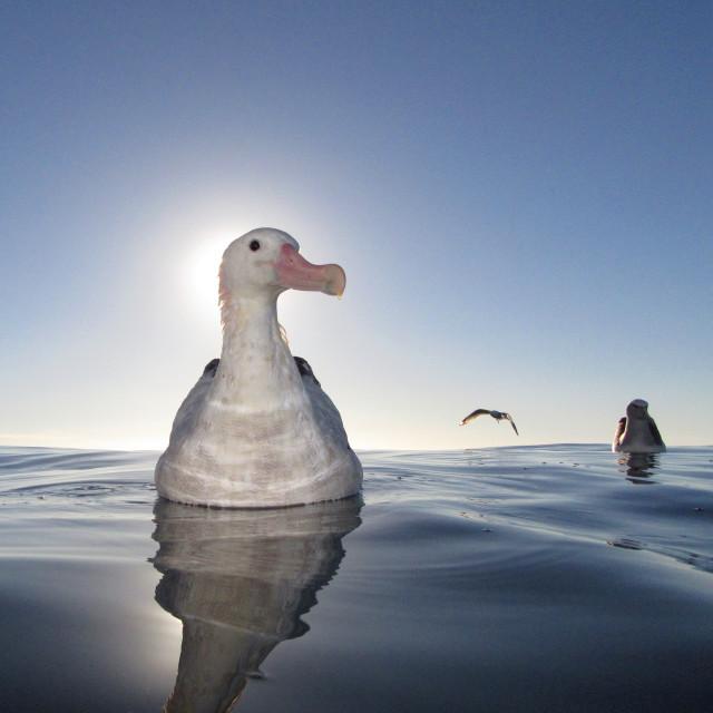 """Gibson's Albatross, Diomedea gibsoni"" stock image"