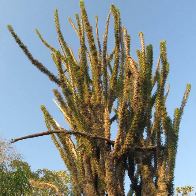 """Spiny forest, Ifaty, Madagascar"" stock image"