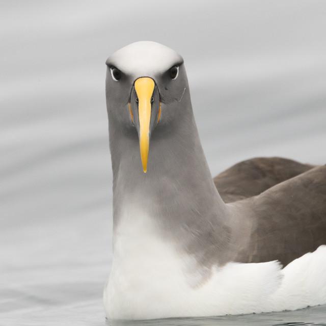 """Northern Buller's Albatross, Thalassarche bulleri platei"" stock image"