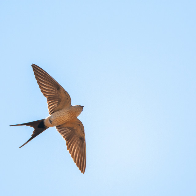 """Red-rumped Swallow, Cecropis daurica"" stock image"