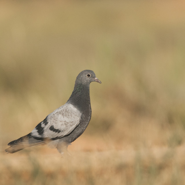 """Rock Pigeon, Columba livia"" stock image"