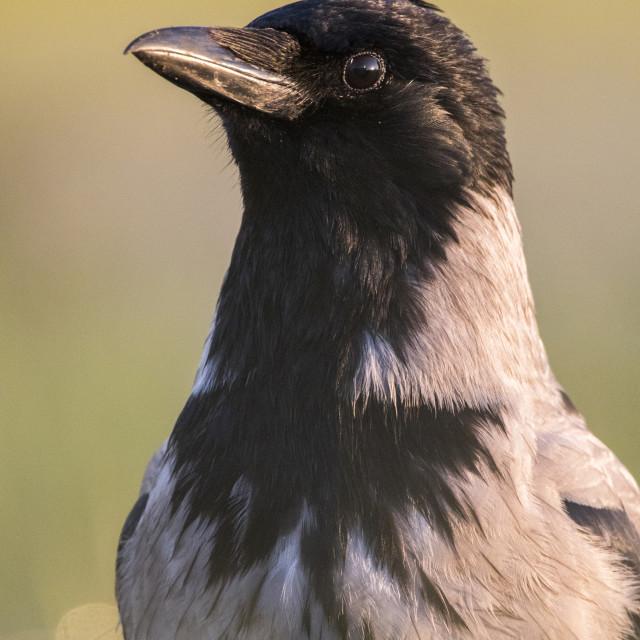 """Hooded Crow, Bonte Kraai, Corvus cornix"" stock image"