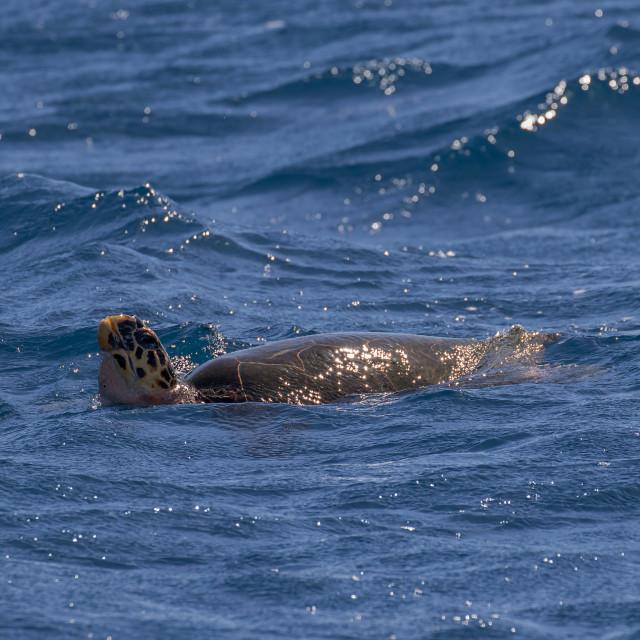 """Hawksbill sea turtle, Eretmochelys imbricata"" stock image"