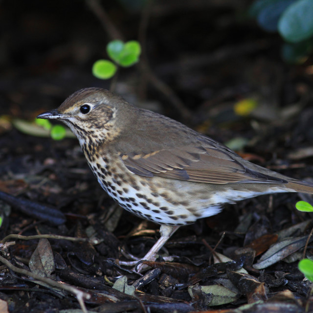 """Song Thrush, Turdus philomelos"" stock image"