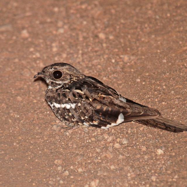 """Slender-tailed nightjar, Caprimulgus clarus"" stock image"