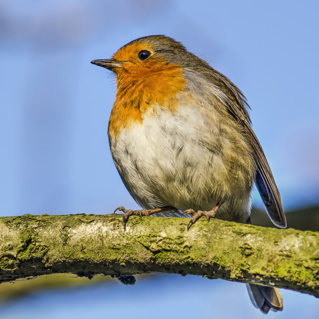 """""""Robin on a branch"""" stock image"""