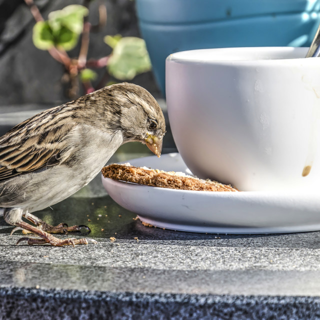 """""""Sparrow at the coffee table"""" stock image"""
