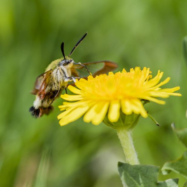 """Broad-bordered Bee Hawk-moth, Hemaris fuciformis"" stock image"