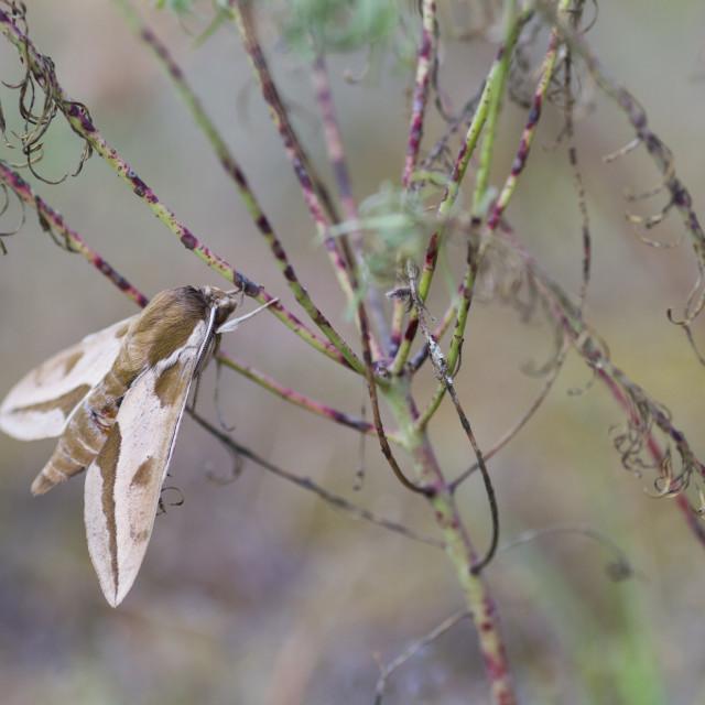 """Spurge Hawk-moth, Hyles euphorbiae"" stock image"