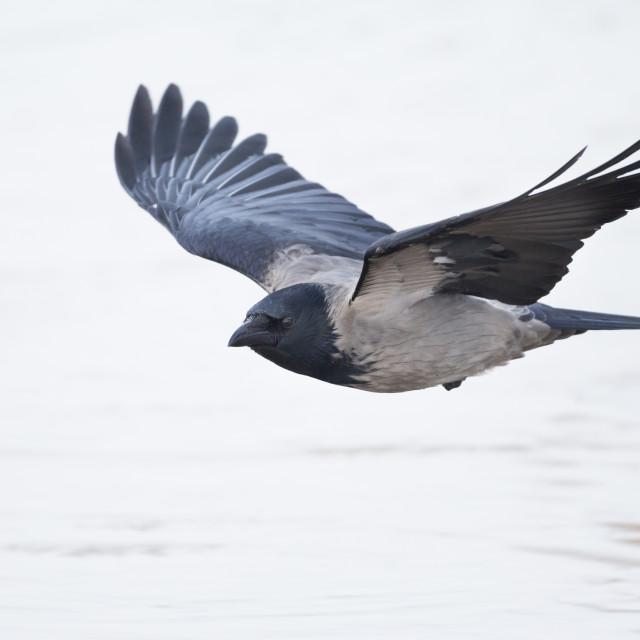 """Hooded Crow, Corvus cornix cornix"" stock image"