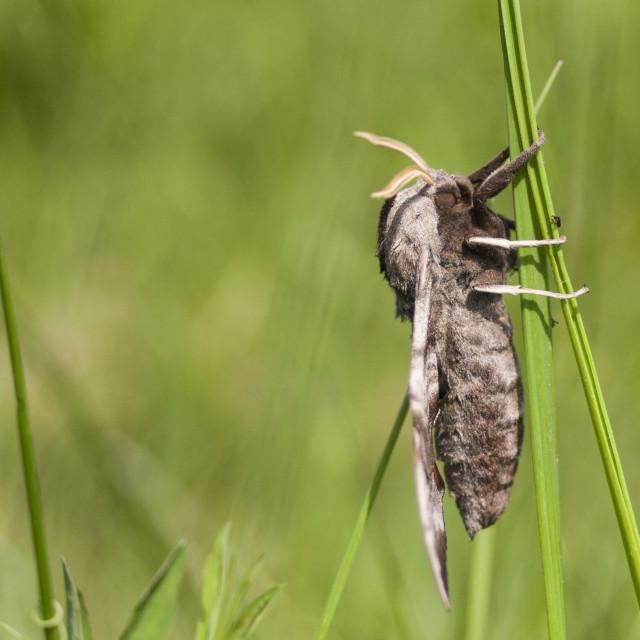 """Eyed Hawk Moth, Smerinthus ocellata"" stock image"