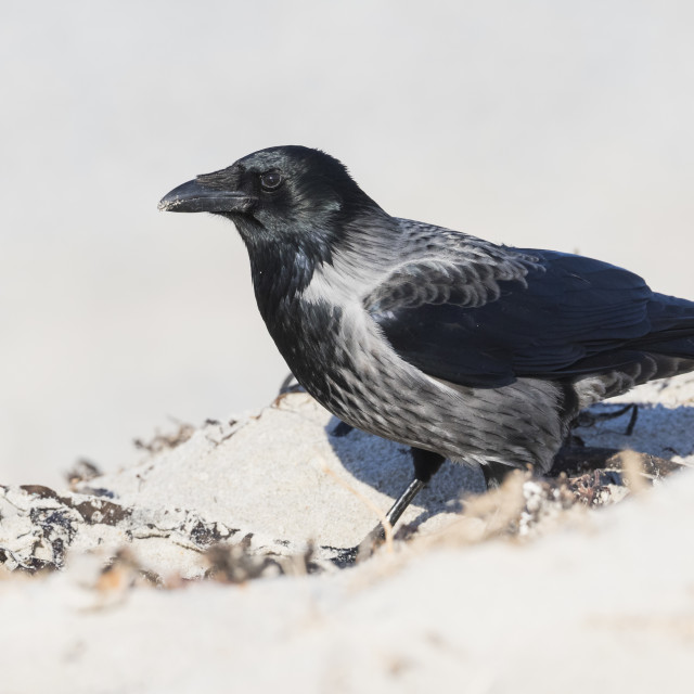 """Hybrid Hooded Crow x Carrion Crow, Corvus cornix x Corvus corone"" stock image"