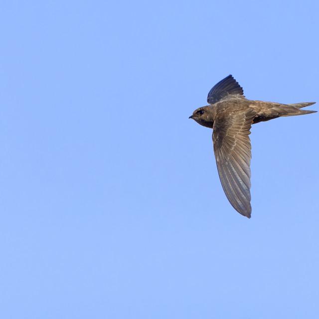 """Cape Verde Swift"" stock image"