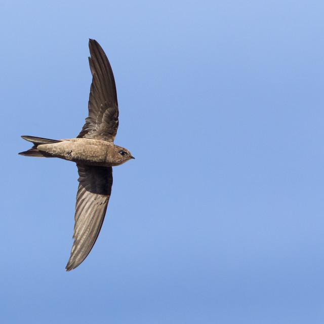 """Cape Verde Swift in flight"" stock image"