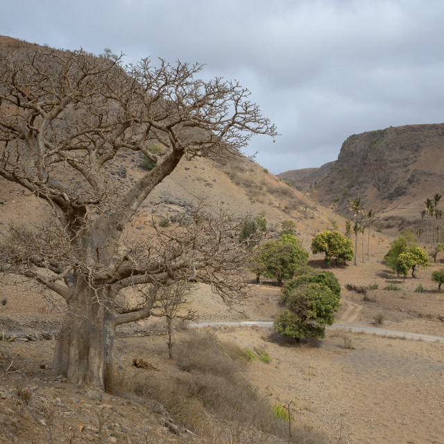 """Baobab tree in Santiago (Cape Verde)"" stock image"