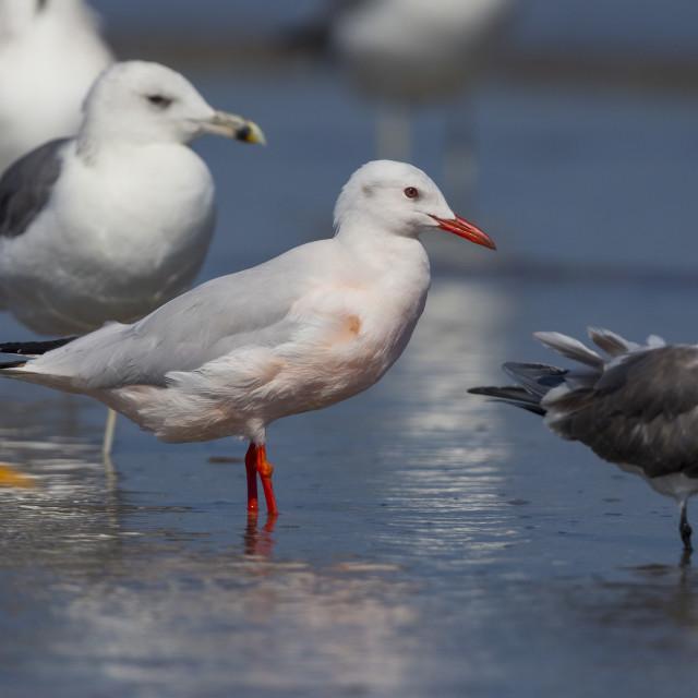 """""""Slender-billed Gull"""" stock image"""
