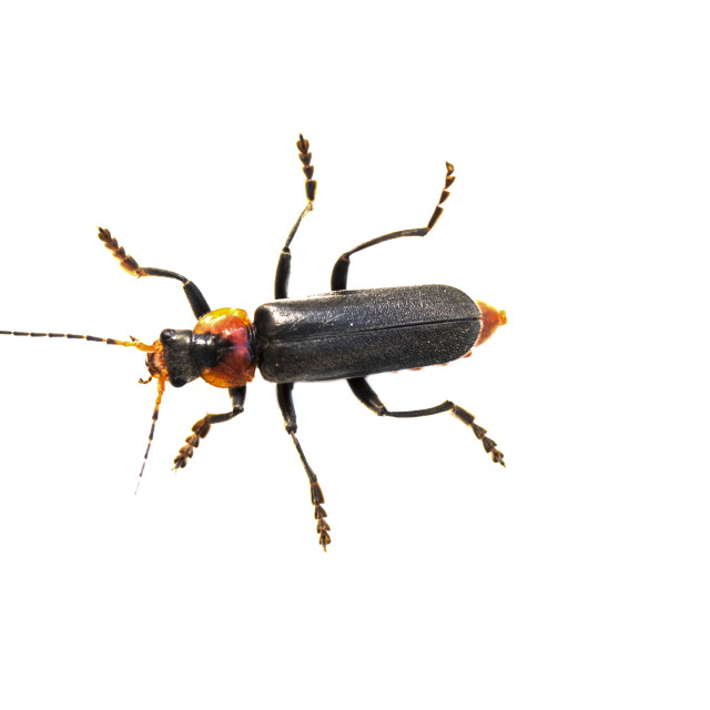 """""""Cantharis fusca"""" stock image"""