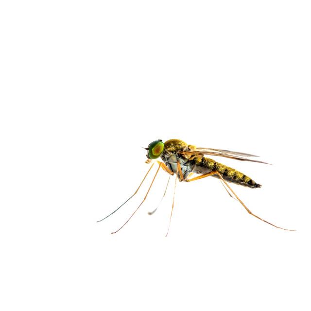 """Little snipefly, Chrysopilus asiliformis"" stock image"