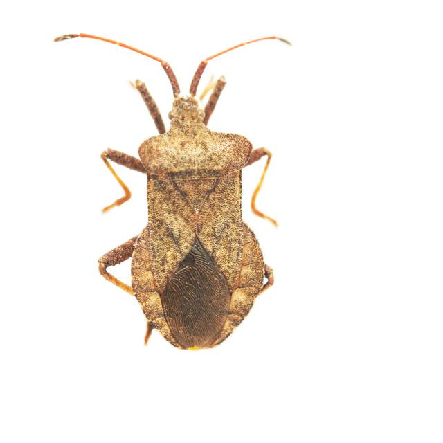"""Dock Bug, Coreus marginatus"" stock image"