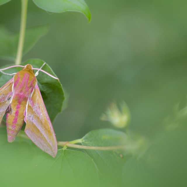 """Elephant Hawk-moth, Deilephila elpenor"" stock image"