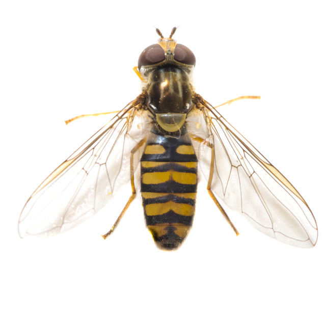 """Marmalade hoverfly, Episyrphus balteatus"" stock image"