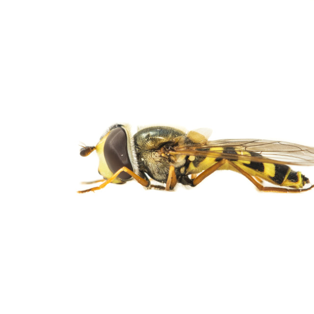 """Migrant Hoverfly, Eupeodes corollae"" stock image"