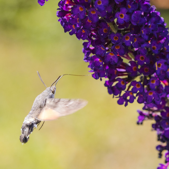 """""""Hummingbird hawk-moth, Macroglossum stellatarum"""" stock image"""