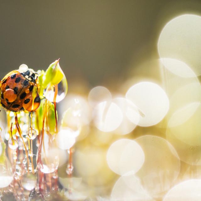 """""""Asian ladybeetle, Harmonia axyridis"""" stock image"""