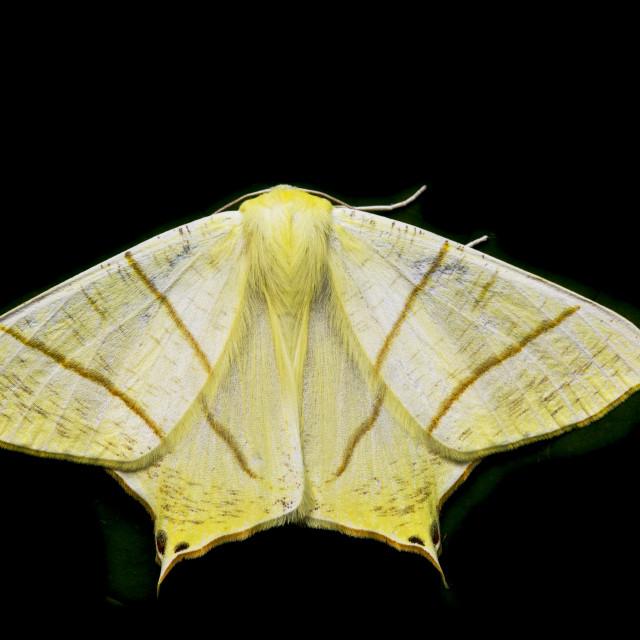"""Ourapteryx sambucaria, Swallow-tailed Moth"" stock image"