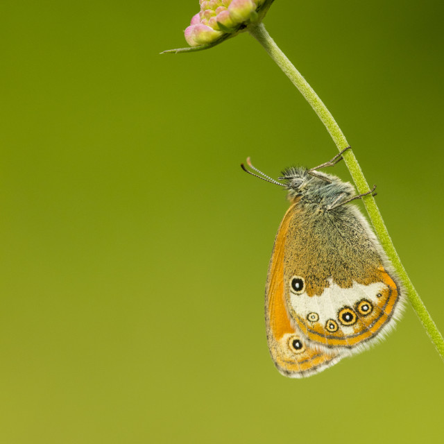"""Pearly Heath, Coenonympha arcania"" stock image"